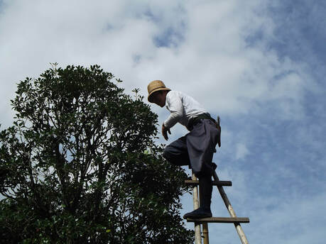tree worker atop a ladder at the highest point of a tree
